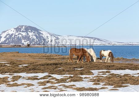 Icelandic horse with show mountain and lake