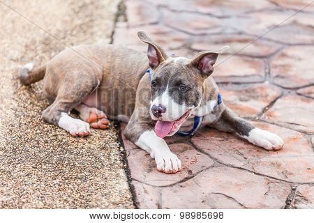 Cute Pit Bull Dog Laying