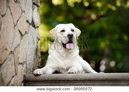 adorable yellow labrador dog outdoors