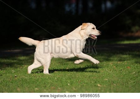 happy active labrador dog outdoors