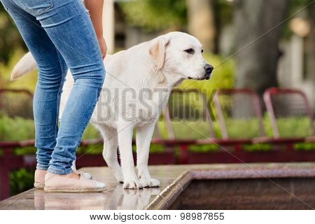 adorable labrador dog in the park