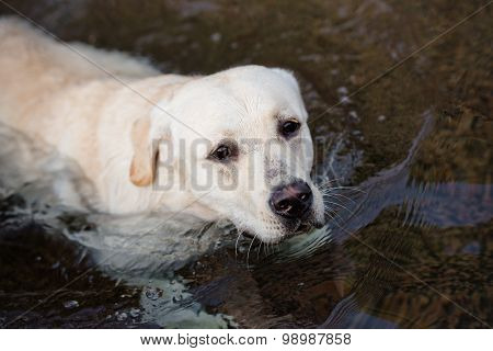 yellow labrador dog in the water
