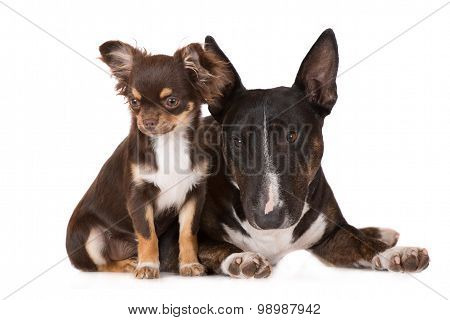 english miniature bull terrier and chihuahua dogs together
