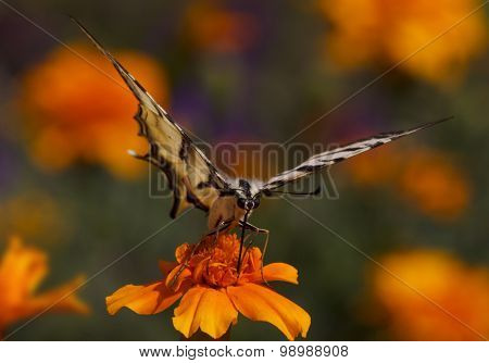 Swallowtail Butterfly On Marigold Flower