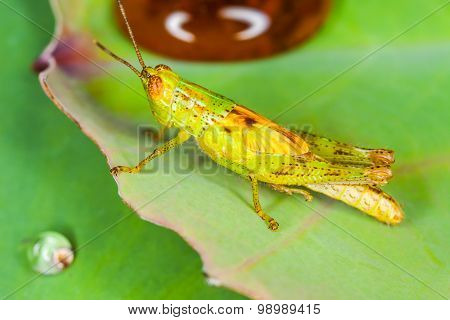 Macro of The Grasshopper on Leaf