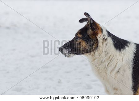 Outdoor portrait of three-colored dog
