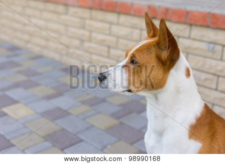 Outdoor portrait of basenji dog
