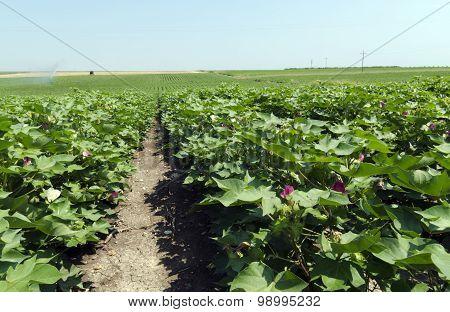 Cottonfield
