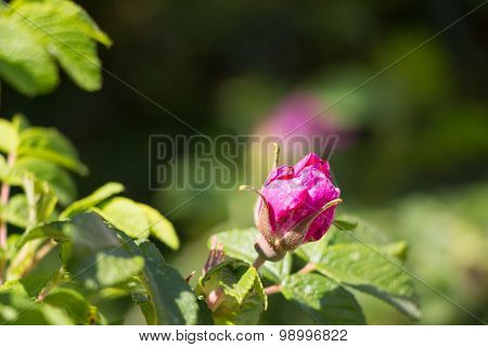 Red Bright Pink Wild Rose Flower Hip Spring Blossom