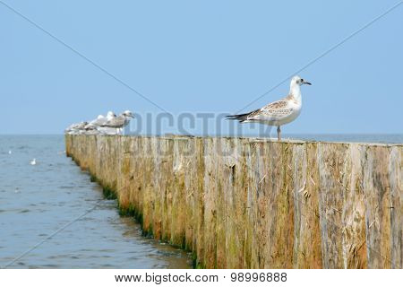 Wooden Groyne And Seagulls.
