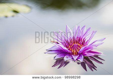 Lotus Flower A Beautiful Purple Waterlily In Pond