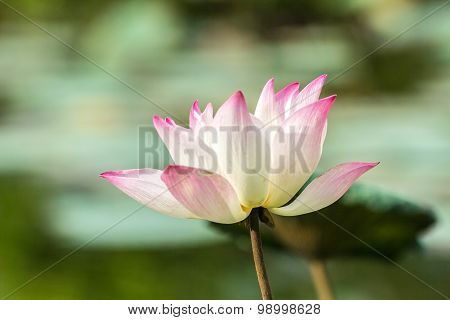 Lotus Flower A Beautiful White Waterlily In Pond