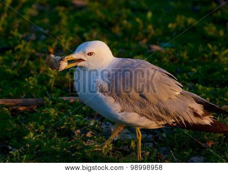 The Close-up Of The Gull With Her Food