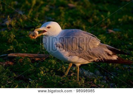 The Close-up Of The Eating Gull