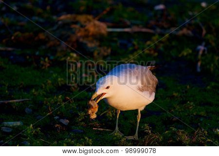 The Gull Is Eating Something