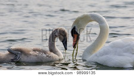 The Heart Shape Of The Necks Of The Swans