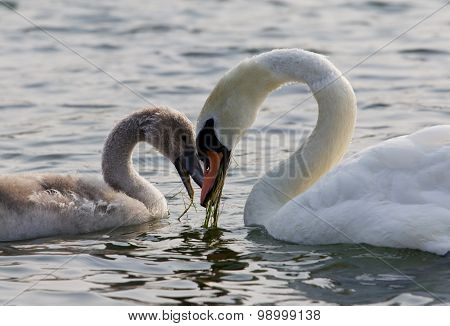 The Mother-swan And Her Son. The Shape Of The Heart