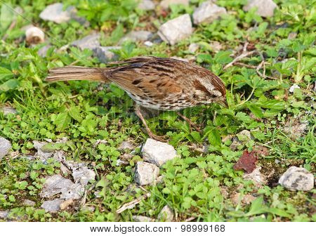 The Sparrow Has Found Something In The Grass