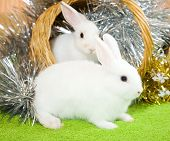 image of tawdry  - Two white rabbits in basket against spangle on green