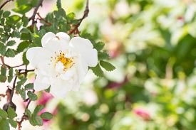 picture of wild-brier  - White Wild Rose Flower Hip spring Blossom - JPG