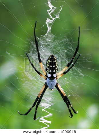 Female Yellow Garden Spider