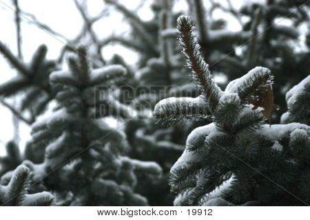 Pine Tree With Snow Bkg
