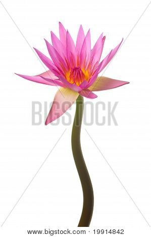 pink water lily vertical