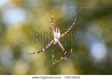 Silver-backed Argiope (Argiope Florida)