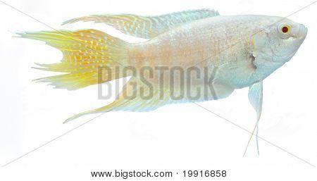 Albino Paradise Betta Fish.macropodus Opercularis.