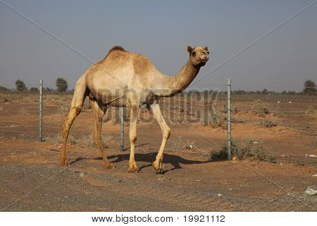 Single Camel Walking On A Sandy Road