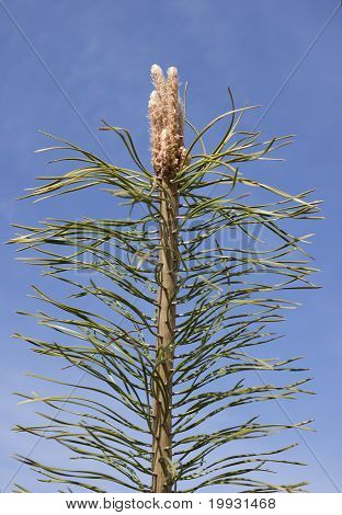 Young Shoots Of Pine
