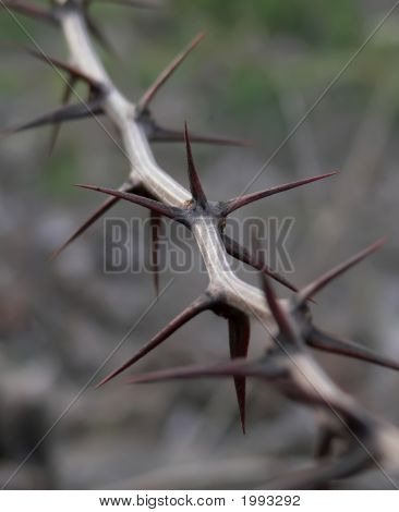 Thorn Closeup