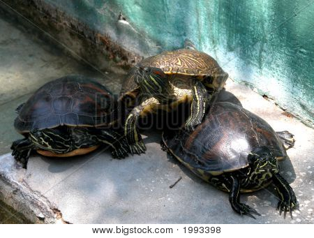 Cluster Of Turtles
