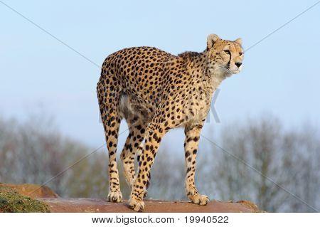 Cheetah Ready To Pounce