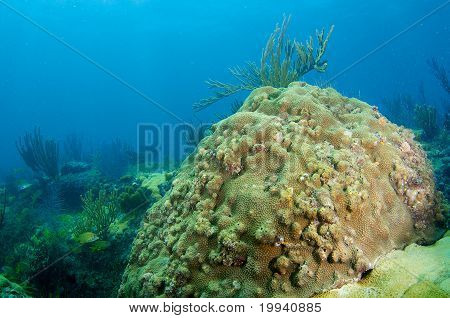 Large Star Coral
