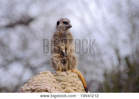 Meercat looks cute