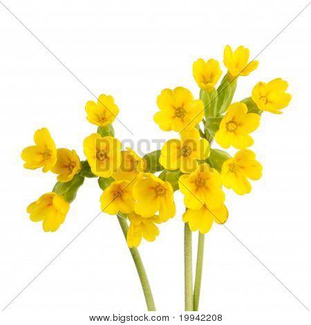 Schlüsselblume-Blumen, Isolated On White