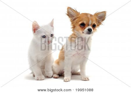 Puppy Chihuahua And Kitten