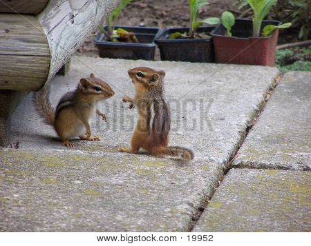 Chipmunks Playing