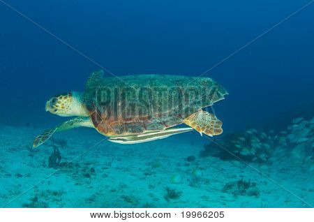 Loggerhead Sea Turtule