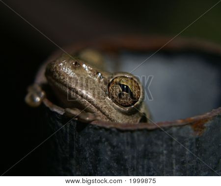 Cubian Tree Frog at the edge of a pipe