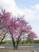 stock photo of dogwood  - Flowering Dogwood tree in full bloom as seen from the Seascape Park in Hoffman Estates - JPG