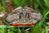 stock photo of winnebago  - Baby Painted Turtle  - JPG
