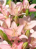 picture of asiatic lily  - a beautiful mass of pink asiatic lilies - JPG