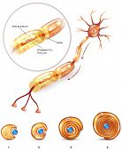 Neuron Myelin Sheath poster