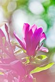 stock photo of saucer magnolia  - Pink abloom magnolia flower in sunny spring day with beautiful bokeh - JPG