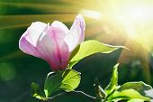 image of saucer magnolia  - Pink abloom magnolia flower in sunny spring day with beautiful bokeh - JPG