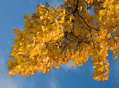 Yellow Leaves With Blue Sky poster