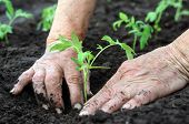 foto of humus  - Senior woman planting a tomatoes seedling in the vegetable garden - JPG