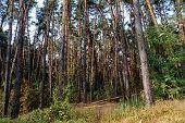 Deep Autumn Pine Forest With Warm Sunlight Illuminating Green Foliage. poster